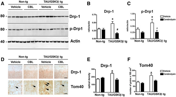Effect of CBL on mitochondrial proteins in Tau/GSK3β bigenic mice. (A) Immunoblot analysis of Drp-1 levels in hippocampal homogenates from vehicle and CBL treated Tau/GSK3β bigenic mice in comparison to non-tg mice. Actin was used as a loading control. (B) Quantitative analysis of Drp-1 levels in the hippocampus of vehicle and CBL treated Tau/GSK3β bigenic mice in comparison to non-tg mice. (C) Quantitative analysis of p-Drp-1 levels in the hippocampus of vehicle and CBL treated Tau/GSK3β bigenic mice in comparison to non-tg mice. (D) Immunohistochemical analysis of Drp-1 and Tom40 levels in the hippocampus of vehicle and CBL treated Tau/GSK3β bigenic mice in comparison to non-tg mice. Arrows indicate immunoreactive mitochondria. (E) Quantitative analysis of Drp-1 levels in the hippocampus of vehicle and CBL treated Tau/GSK3β bigenic mice in comparison to non-tg mice. (F) Quantitative analysis of Tom40 levels in the hippocampus of vehicle and CBL treated Tau/GSK3β bigenic mice in comparison to non-tg mice. Scale Bars = 5 μm, Error bars represent mean ± SEM (n = 6 per group, 6 m/o). *Indicates a significant difference (p