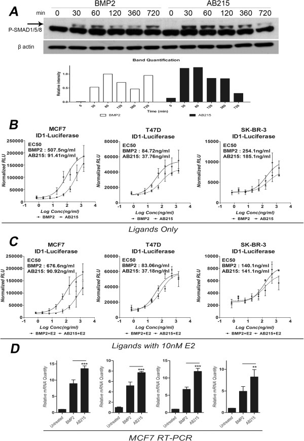 Enhanced signaling capacity of AB215 compared to BMP2 in breast cancer cells. A) Time course western blot analysis of MCF7 cells was performed after exposing BMP2 and AB215 for indicated time. The arrow points to the ligand-induced upper band. B - C) ID1-driven Luciferase reporter assay of BMP2 and AB215 for MCF7, T47D and SK-BR-3 cells in the B) absence and C) presence of 10nM E2. Cells were reverse transfected with ID1-Luciferase reporter plasmid in triplicate. Transfected cells were exposed to ligands for 18 hours. Relative luciferase value has been normalized with β-gal. The data is shown in means ± SD, (n: number of independent experiments = 3). D) mRNA level of IDs in MCF7 cells. BMP2 and AB215 induced mRNA expression level of ID1/2/3/4 has been measured by qRT-PCR in MCF7 cells. Cells were exposed to 500 ng/ml of BMP2 and AB215 for 18 hours. Relative mRNA level was calculated in quadruplicate using ΔΔCτ method with the control and β-actin as a reference. All data are shown in means + SD, n = 3. ( * = P ≤ 0.05, ** = P ≤ 0.01, *** = P ≤ 0.001 ).