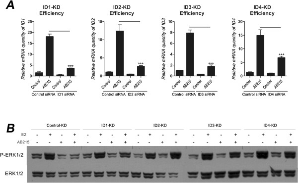 AB215 induced IDs cooperatively inhibit E2 activating P-ERK1/2. MCF7 cells were reverse transfected with siRNA in serum free/phenol red free <t>RPMI1640</t> and plated in phenol red free RPMI1640 supplemented with 10% heat inactivated charcoal-stripped <t>FBS.</t> Control was transfected with non-sense siRNA. After 24 hours of transfection, cells were treated with or without 10nM E2 along with 500 ng/ml BMP2 or AB215. After 48 hours of exposure, RNA was extracted for qRT-PCR analysis or harvested for western blot analysis. A) KD efficiency of each IDs using siRNA. mRNA level of each IDs were measured using qRT-PCR to confirm the effectiveness of mRNA knocked down. Data are shown as means + SD in quadruplicates, n = 3. B) KD samples are analyzed for western blot to detect phosphorylation of ERK1/2. The figure shown is done in two separate blots (Control, ID1, ID2-KDs in one blot and ID3, ID4-KDs in another blot). ( * = P ≤ 0.05, ** = P ≤ 0.01, *** = P ≤ 0.001 ).