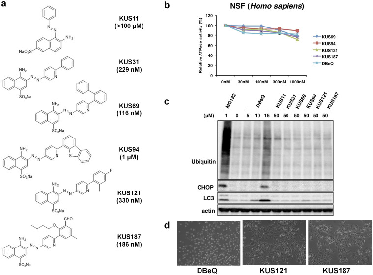 Structures and characterization of KUSs, novel VCP modulators. (a) Structures and IC 50 values of KUS11, KUS31, KUS69, KUS94, KUS121, and KUS187. Note that KUS11 did not inhibit the ATPase activity of recombinant VCP, and it did not share a common structure with the other KUSs. (b) ATPase activity assays of recombinant human NSF, comparing KUSs and DBeQ. (c) Immunoblot analysis of ubiquitinated proteins, an ER stress marker (CHOP), and an autophagy indicator (LC3), comparing KUSs and DBeQ. As a control, MG132, a proteasome inhibitor, was used for the analysis. Actin served as a loading control. Complete scans of the different blots are presented in Supplementary Fig. 7 . (d) Comparison of KUSs and DBeQ for cell death-inducing activities. HeLa cells were treated with 50 μM DBeQ or KUSs for 24 hours.