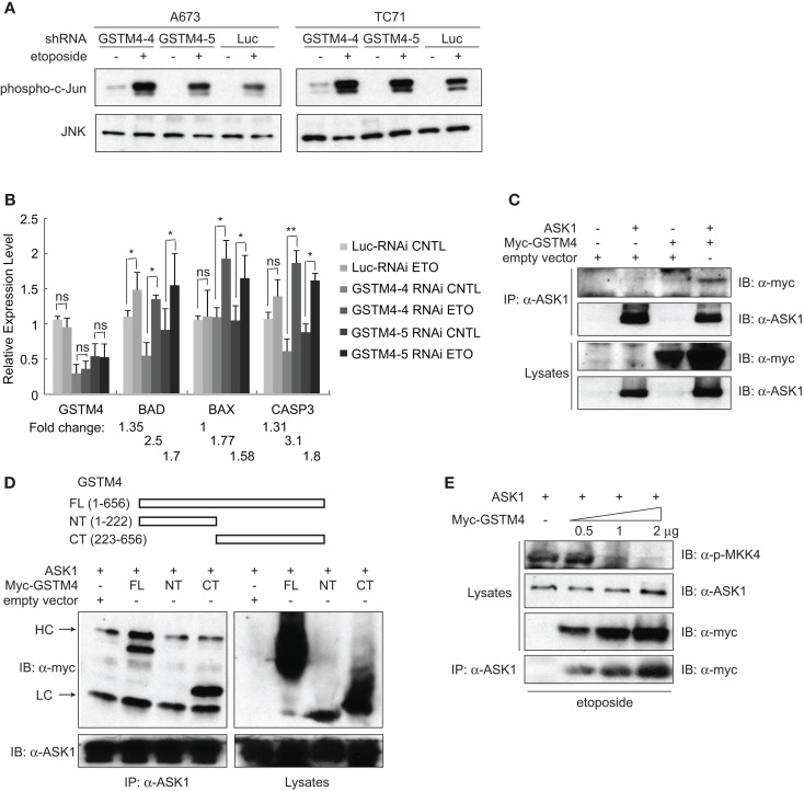 "GSTM4 inhibits etoposide-mediated JNK activation and apoptosis by interacting with ASK1 . (A) Decreasing GSTM4 levels increases JNK activation induced by etoposide. Control- (Luc-RNAi) and GSTM4-silenced (GSTM4-4-RNAi and GSTM4-5 RNAi) cells were treated with or without etoposide (20 μg/ml) for 3 h. Cell lysates were subjected to JNK immunoprecipitation and JNK kinase assays using c-jun as the substrate. The result shown is representative of three experimental repeats. (B) Decreasing GSTM4 levels increases apoptosis induced by etoposide. Control-silenced (Luc-RNAi) and GSTM4-silenced (GSTM4-4-RNAi and GSTM4-5 RNAi) cells were treated with or without etoposide, as in (A) above. Expression levels of GSTM4, BAD, BAX, and CASP3 then were evaluated by qRT-PCR analyses. ""ns"" indicates not significant, * p"