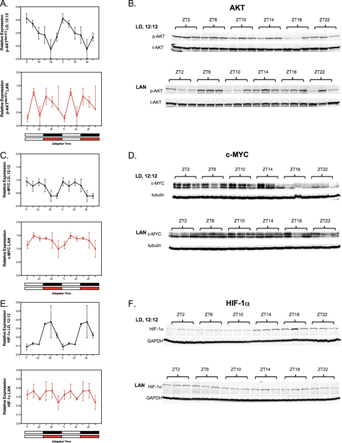 Circadian oscillations and their LAN-induced circadian disruption in tumor signaling and transcriptional regulatory molecules involved in the Warburg effect (e.g., AKT, c-MYC and HIF-1α). ( A–F ) Tumor levels of phospho-AKT ser473 (A B), cMyc (C D), and HIF-1α (E F) were measured under LD,12∶12 or LD,12∶12+ LAN; see legend for Figure 1 for further experimental conditions. Solid black or red circles represent the mean ±SD relative expression (derived from the densitometric quantitation of the immunoblots) of either pAKT ser473 , c-MYC and HIF-1α at each circadian time point; n = 3 representative tumor samples at each time point. Relative expression of pAKT ser473 represents the ratio of pAKT ser473 protein to total (t)AKT protein; relative expression of c-MYC and HIF-1α represents the ratio of these proteins to tubulin and GAPDH, respectively. Cosinor analysis revealed robust and highly significant rhythmic patterns under LD,12∶12 conditions in tumor analytes; except for c-MYC, no significant daily rhythmic patterns were detected under dim LAN (see summary Table 4 ). Statistical comparisons were unable to be made between corresponding time points between the LD,12∶12 and LAN groups since immunoblots were performed for the two groups in separate runs. Only a single 24-hour cycle of immunoblots were run and displayed, whereas the densitometric representation of those same immunoblots was displayed twice to illustrate rhythm continuity as indicated in the legend of Fig. 1.