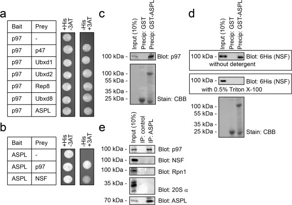 ASPL interacts with p97 via the UBX domain. (a) Yeast two-hybrid analyses of p97 using the HIS3 reporter gene. Co-transformation of p97 bait with the indicated p97 binding partner preys supported cell growth under conditions selecting for interaction (in the absence of histidine and the presence of 25 mM 3-aminotriazol (3AT)) (right panel). An empty prey vector served as a negative control. (b) Yeast two-hybrid analyses of ASPL using the HIS3 reporter gene. Co-transformation of ASPL bait with p97 or NSF preys supported cell growth under conditions selecting for interaction (in the absence of histidine and the presence of 25 mM 3-aminotriazol (3AT)) (right panel). An empty prey vector served as a negative control. (c) Purified 6His-tagged p97 was incubated with GST or GST-tagged ASPL and precipitated with glutathione (GSH) Sepharose. Bound proteins were analyzed by SDS-PAGE and blotting using antibodies to p97 (upper panel) Even loading was checked by staining with Coomassie Brilliant Blue (CBB) (lower panel). (d) Purified 6His-tagged NSF was incubated with GST or GST-tagged ASPL and precipitated with glutathione (GSH) Sepharose. Bound proteins were analyzed by SDS-PAGE and blotting using antibodies to the 6His-tag on NSF (upper panels). Even loading was checked by staining with Coomassie Brilliant Blue (CBB) (lower panel). Interaction to NSF was only evident when no detergents were included in the buffer system. In the presence of 0.5% Triton X-100 no interaction between ASPL and NSF was observed. (e) MelJuSo cell lysates were used in immunoprecipitation (IP) experiments with antibodies to ASPL and Protein A Sepharose or as a control Protein A Sepharose beads only. SDS-PAGE and blotting revealed that ASPL co-precipitated p97, but not NSF or the Rpn1 or α subunits of the 26S proteasome.
