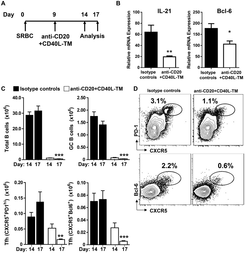 Depletion of B cells in SRBC immunized mice with anti-CD20 plus -CD40L-TM treatment leads to accelerated loss of mature Tfh cells. (A) Diagrammatic representation of experimental protocol. BALB/c mice were immunized with SRBC and treated with either anti-CD20 (0.25 mg mg/mouse) + anti-CD40L-TM (0.40 mg mg/mouse) or control antibodies at day 9 post treatment. Mice were sacrificed on days 5 and 8 post antibody treatment (14 and 17 days post immunization). (B) Relative expression of IL-21 and Bcl-6 in FACS sorted CD4 + CD44 high CD62L low cells from mice treated with either anti-CD20+anti-CD40L-TM or control antibodies. Data are normalized with expression of housekeeping gene 18S. (C) Graphs show number of total B cells (B220 + CD19 + ), GC B cells (PNA + FAS high IgD low ), Tfh cells (CXCR5 + PD1 high and CXCR5 + Bcl-6 + cells) gated on CD4 + CD44 high T cells. ***P