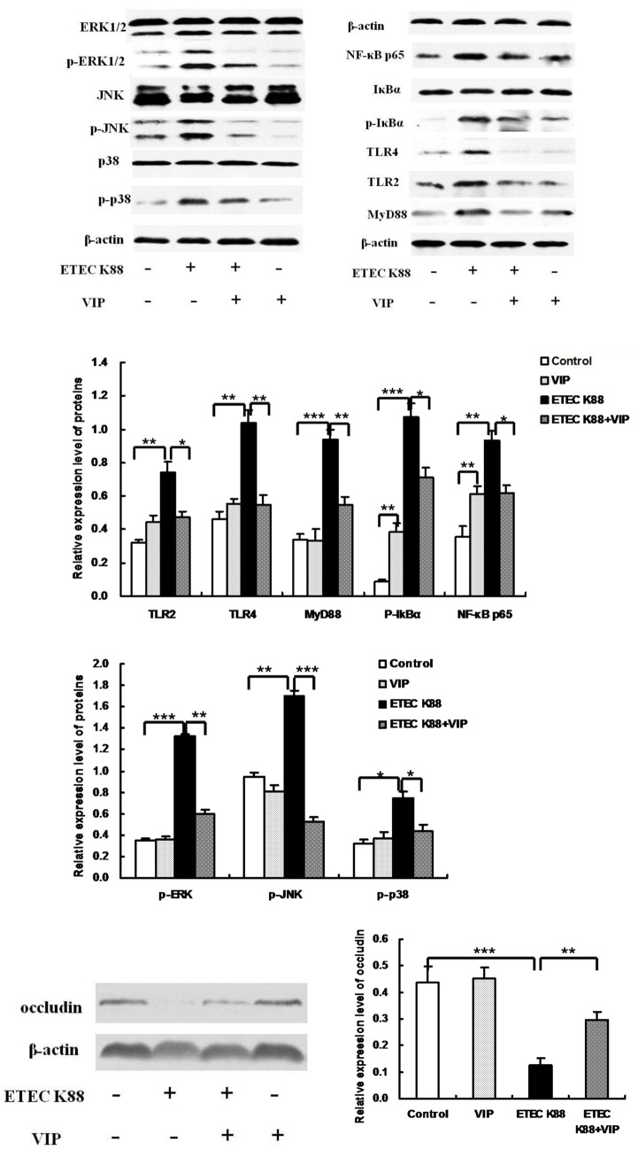 Effect of VIP on degradation and phosphorylation of IκBα, ERK1/2 (p44/p42) MAPK, p38 MAPK, and <t>JNK/SAPK,</t> and expression of TLRs, NF-κB p65, MyD88 and occludin in the ileum. Cytosolic occludin, IκB-α, p-IκB-α, p44/p42 (ERK1/2), p-p44/p42, p38, p-p38, JNK/SAPK, p-JNK/SAPK, p65, TLR4, TLR2, MyD88, nuclear NF-κB p65 proteins and actin were detected by western blot analysis. Each results is the mean (n = 6)±S.E.M. * P