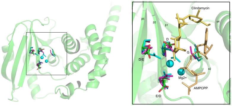 Active site conservation and substrate binding of JHP933, LinA and LinB. The C atoms of active site residues are shown in ball-and-stick representation and distinctively colored: lime for JHP933, magenta for LinA (4E8J), and cyan for LinB (3JZ0). The substrate Mg 2+ ions, as cyan spheres, AMPCPP and clindamycin, in yellow, are from LinB complex structure.