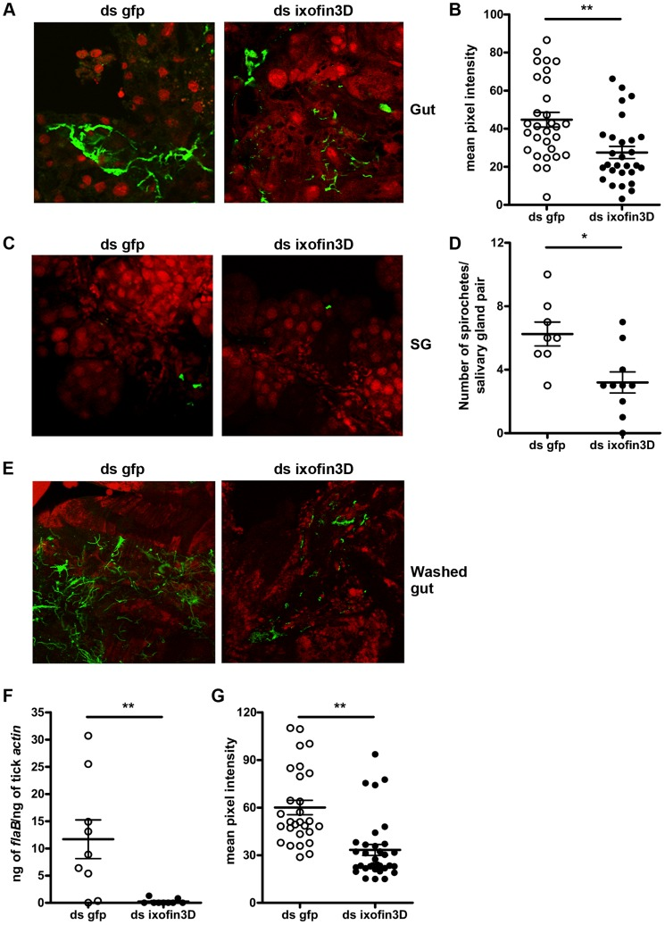 RNA-mediated knockdown of ixofin3D expression results in decreased aggregation of Borrelia burgdorferi on the gut. A. Confocal microscopy of PFA-fixed guts from 72 h fed B. burgdorferi -infected nymphs injected with ds ixofin3D or ds gfp RNA. Nuclei, and spirochetes stained with propidium iodide (red), and anti- B. burgdorferi (N40) IgG (FITC-green) respectively. B . Mean pixel intensities of regions of interest in the FITC channel (representing anti- B. burgdorferi serum binding to spirochetes) of the confocal images obtained in A . Each data point represents one region of interest. C . Confocal microscopy of PFA-fixed salivary glands from 72 h fed B. burgdorferi -infected nymphs injected with ds ixofin3D or ds gfp RNA. Nuclei, and spirochetes stained with propidium iodide (red), and anti- B. burgdorferi (N40) IgG (FITC-green) respectively. In A and C magnification ×40. D . Spirochetes in each salivary gland pair counted manually. Each data point represents one salivary gland pair. E . Confocal microscopy of guts from 72 h fed B. burgdorferi -infected nymphs injected with ds ixofin3D or ds gfp RNA washed to remove unbound Borrelia , and PFA fixed prior to staining. Nuclei were stained with propidium iodide (red), and spirochetes with anti- B. burgdorferi (N40) IgG (FITC-green). Magnification ×40. F . qRT-PCR assessment of Borrelia burden in washed tick guts. Each data point in B represents a pool of 3 guts. G . Mean pixel intensities of regions of interest in the FITC channel (representing anti- B. burgdorferi serum binding) of the confocal images obtained in E . Each data point represents one region of interest. Error bars in B , D , F and G represent mean ± SEM. Mean values significantly different in a two-tailed non-parametric Mann-Whitney test indicated by one asterisk ( p