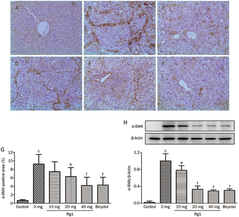 Effects of Rg1 on CCl 4 -induced expression of hepatic α-SMA. Representative photomicrographs of liver histology from each group are shown as follows: Control (A), CCl 4 alone (B), CCl 4 +Bicyclol (C), CCl 4 +Rg1-10 mg/kg (D), CCl 4 +Rg1-20 mg/kg (E) and CCl 4 +Rg1-40 mg/kg (F). Original magnification: ×100. Scale bar, 100 μm. (G) Morphometrical analysis was performed for evaluating percentages of α-SMA-positive area in 12 random fields per section of six animals. (H) Western bloting analysis of α-SMA in liver tissue. Representative blots were from three independent experiments. The data were expressed as means±SD. c P