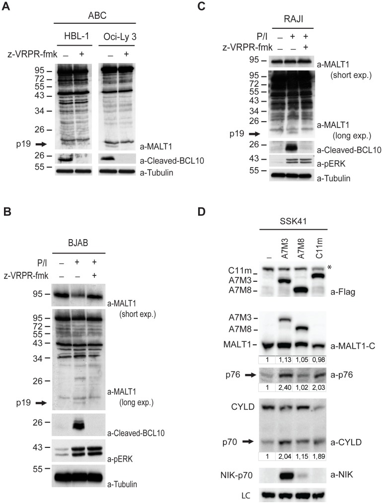 Figure 5. MALT1 auto-proteolysis in activated B cells. A) ABC-DLBCL cell lines HBL-1 and OCI-Ly3 were treated with 50 µM z-VRPR-fmk (36 hrs hrs) and lysates were analysed for the presence of MALT1 and BCL10 cleavage fragments with a-MALT1, a-Cleaved BCL10 and a-Tubulin (loading control). B-C) The GCB-DLBCL cell lines BJAB and Raji were left untreated or stimulated with PMA/ionomycin (30 min min) with or without pre-treatment with 50 µM z-VRPR-fmk (30 min min). Lysates were analysed for the presence of MALT1 and BCL10 cleavage fragments, for p-ERK (activation control) and tubulin (loading control). D) Immunoblot of lysates of SSK41 cells and SSK41 cells with ectopic expression of the API2-MALT1 fusion variants A7M3 and A7M8, or the L232LI mutant of Card11 (C11m) respectively, with antibodies against the MALT1 C-terminus, the p76 neo-epitope, the CYLD C-terminus, the NIK C-terminus and Flag (ectopic A7M3, A7M8 and C11m). Numbers below blots depict band intensities of MALT1, p76 and the CYLD p70 fragment relative to lane 1. * = non-specific band. LC: loading control, a non-specific band obtained with the p76 neo-epitope antibody was used.