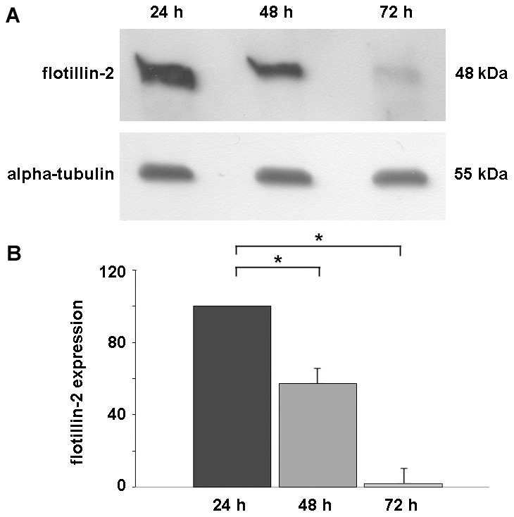 Flotillin-2 is down-regulated during in vitro chick skeletal myogenesis. Chick myogenic cells were grown for 24, 48 and 72-2. ( A ) Upper Western blot shows flotillin-2 reactivity and lower Western blot shows α-tubulin reactivity of the same samples, and was used to normalize sample loading. ( B ) Quantification of protein bands revealed a progressive decrease in the levels of flotillin-2 expression during skeletal muscle differentiation. *p