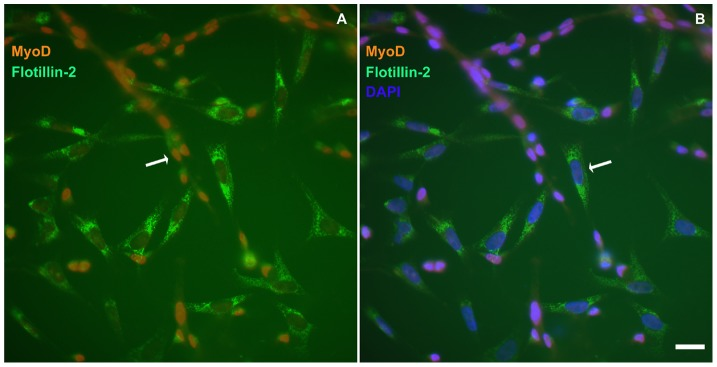 Flotillin-2 is mainly expressed in fibroblasts and weakly expressed in myoblasts. Myogenic cells were grown for 24( A and B ). Cells were fixed with paraformaldehyde and stained with antibodies against MyoD ( red , A and B ) and flotillin-2 ( green , A , and B ) and with the nuclear dye DAPI ( blue , B ). Merged images are shown in A and B . Note that flotillin-2 is highly expressed in MyoD-negative cells and weakly expressed in MyoD-positive cells ( A and B ). Scale bar in B represents 20 µm.