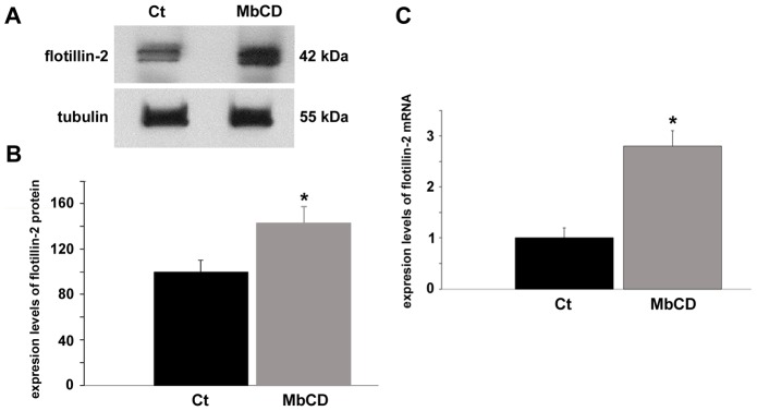Cholesterol depletion enhances the expression of flotillin-2 protein and mRNA. Chick myogenic cells were grown 24(control, Ct ). Cell culture extracts were analyzed in Western blot using an antibody against flotillin-2 ( A ). Lower Western blot shows α-tubulin reactivity of the same samples, and was used to normalize sample loading ( A ). Quantification of protein bands revealed a 40% increase in the levels of flotillin-2 expression after cholesterol depletion ( B ). RT-PCR analysis (for details, see Materials and Methods ) of the expression of flotillin-2 in control and in MbCD-treated cells is shown in C . Glyceraldehyde-3-phosphate dehydrogenase (GAPDH) was used for normalization. Analysis of the expression of flotillin-2 shows a more than 2-fold increase in the levels of mRNA expression in MbCD-treated cells compared with control cells. *p