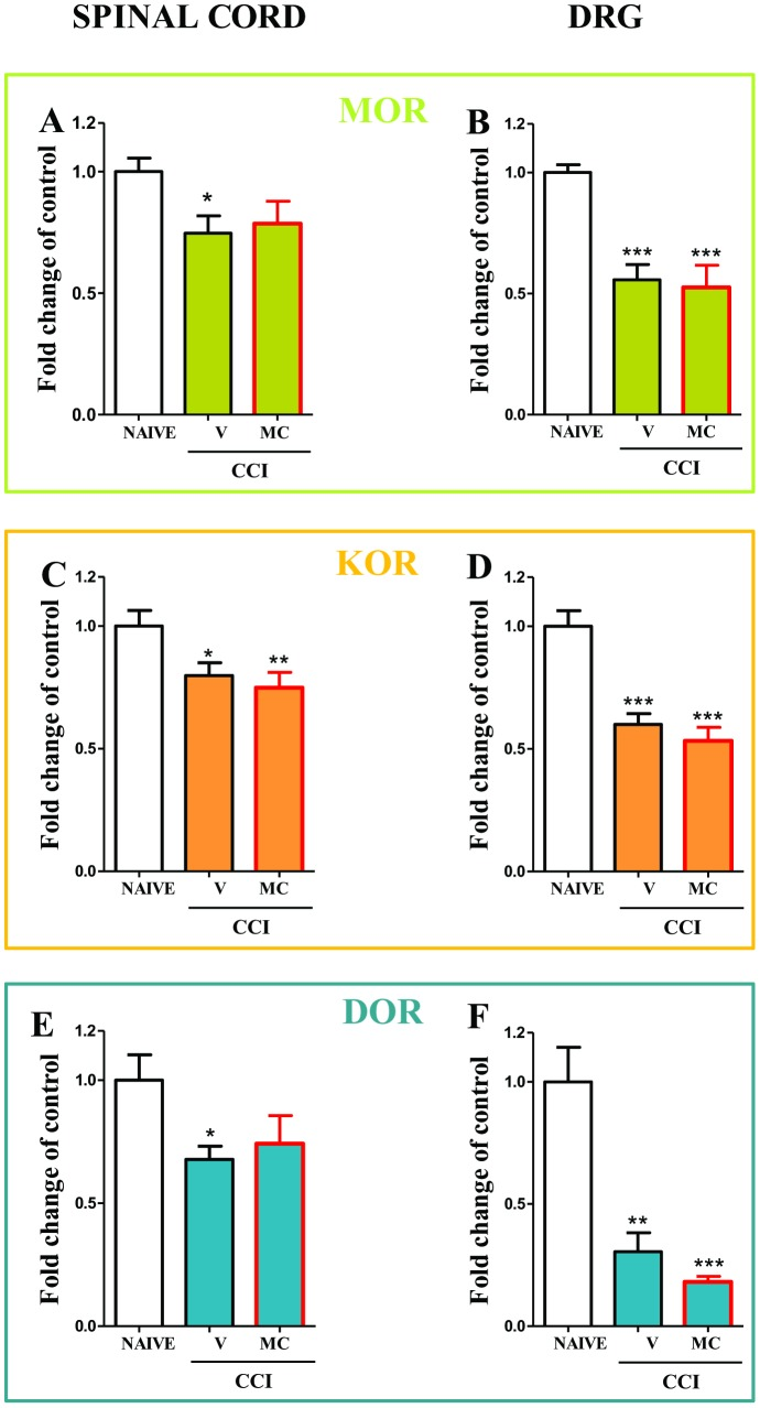 MOR , DOR , KOR mRNAs in spinal cord and DRGs in vehicle- and minocycline-treated CCI-exposed rats. Minocycline (MC; 30 mg/kg; i.p.) was administered intraperitoneally pre-emptively 16 h and 1 h before CCI, and then repeatedly twice daily for 7 days. On the seventh day, spinal cords (L4–L6) and DRG were collected for the qRT-PCR analysis of MOR (A, B), KOR (C, D) and DOR (E, F) gene expression. The data are presented as the means ± SEM and represent the normalised averages derived from the threshold qRT-PCR cycles from four to eight samples for each group. Intergroup differences were analysed using ANOVAs followed by Bonferroni's multiple comparison tests. * P