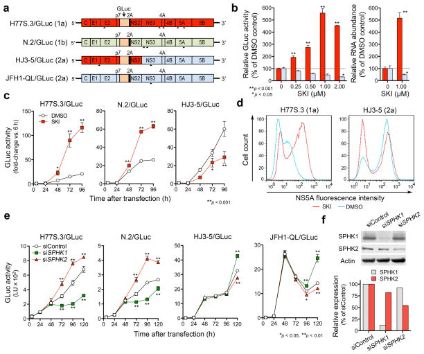 SKI enhances genotype 1 HCV replication while suppressing JFH1-based viruses by inhibiting type 2 sphingosine kinase (SPHK2). ( a ) HCV RNA genomes that express Gaussia Luciferase (GLuc) fused to foot-and-mouth disease virus 2A autoprotease as part of the HCV polyprotein. Arrowheads indicate cell culture-adaptive mutations. ( b ) (left) Dose-response effects of SKI on replication of H77S.3/GLuc (red) or HJ3-5/GLuc (blue) RNAs in Huh-7.5 cells. (right) Effect of 1 μM SKI on replication of H77S.3 (red) or HJ3-5 (blue) RNAs. Data shown represent relative amounts of GLuc secreted between 48–72 h (left) or intracellular RNA levels at 72 h (right). ( c ) Effect of 1 μM SKI on GLuc activities of the indicated viruses are presented as fold-change from baseline (6 h). ( d ) Flow cytometric analysis of NS5A expression in Huh-7.5 cells electroporated with H77S.3 or HJ3-5 RNA and treated with 1 μM SKI or DMSO. ( e–f ) Effect of siRNAs targeting SPHK isoforms or non-targeting control siRNA on replication of different HCV RNAs ( e ) and abundance of each SPHK isoform ( f ). Results represent the mean ± s.e.m. from two independent ( b,c,d ) or triplicate ( e ) experiments. * P