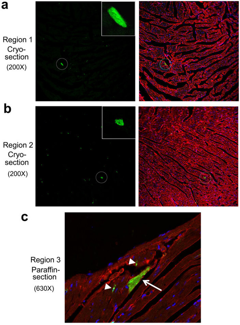 Verifying the extent of eGFP + cardiomyocytes by an independent laboratory from blinded histological heart samples Unprocessed cryosections and paraffin sections from the hearts of Kit +/MCM × R-GFP mice after 8 weeks of tamoxifen were blinded and sent to the Marbán laboratory along with negative control sections from hearts that should not have staining. a, b, Two separate images from cryo-preserved blocks are shown at 200x magnification in which the cryo-section was processed for eGFP fluorescence (green) and α-actinin antibody (red) to show cardiomyocytes. The data show 2 regions where a single eGFP + myocyte is visible in a region with several hundred GFP-negative cardiomyocytes. The single eGFP + cardiomyocyte is circled and the inset box shows a higher magnification. Sections were also stained for nuclei (blue). In general, approximately 1–2 definitive eGFP + cardiomyocytes were identified per entire heart section in the Marbán laboratory, a result that is consistent with the approximate numbers of kit lineage-labeled cardiomyocytes observed by us. c, Image taken at 630x magnification from a paraffin embedded and processed histological section in which both an eGFP antibody (green) and α-actinin antibody (red) was used. Nuclei are shown in blue. The arrow shows a single eGFP + expressing cardiomyocyte and the arrowheads show eGFP + non-myocytes.