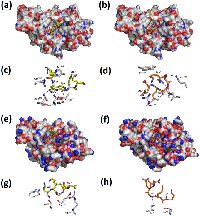 Docking studies of dBLIP-1 and dBLIP-2 and β-lactamases from two different bacterial sources. Structural complementarity between dBLIP-1 (a) and dBLIP-2 (b) toward β-lactamase from Escherichia coli . In detail, the non-covalent interactions (dotted lines) of dBLIP-1 (c) and dBLIP-2 (D) and E. coli β-lactamase catalytic site. Structural complementarity between dBLIP-1 (a) and dBLIP-2 (b) with β-lactamase from Staphylococcus aureus . In detail, the non-covalent interactions (dotted lines) of dBLIP-1 (c) and dBLIP-2 (d) and S. aureus β-lactamase catalytic site.