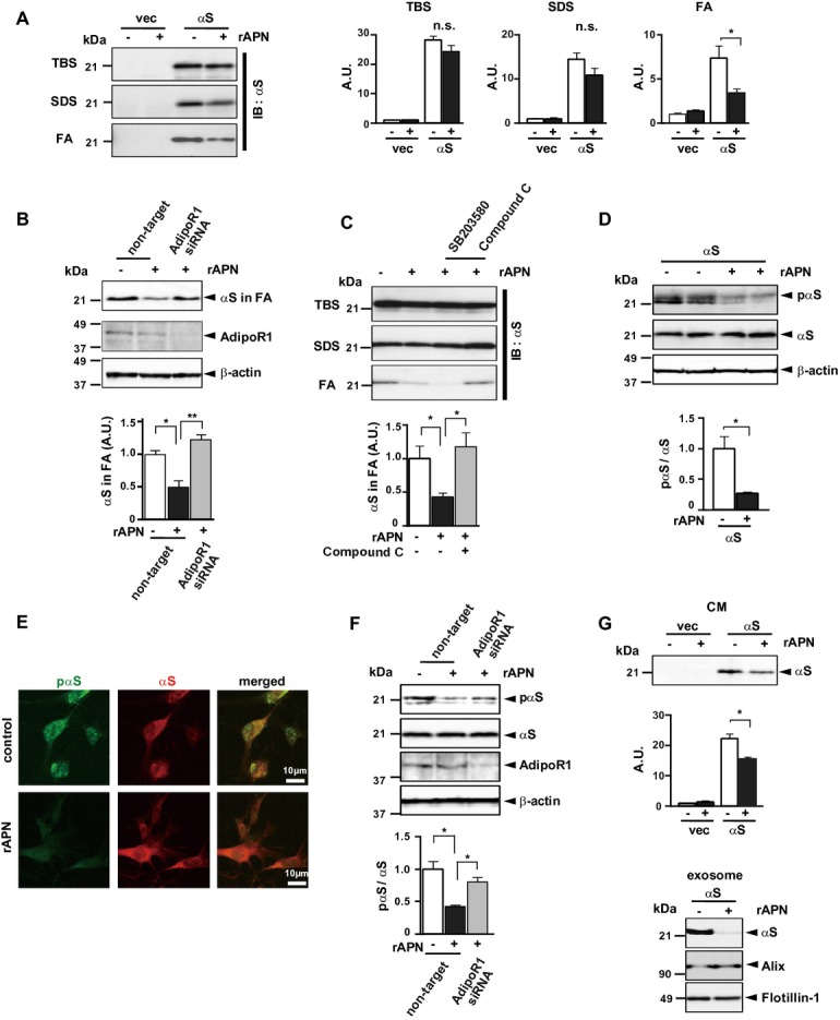 APN ameliorates neurodegeneration in a cell model of α -synucleinopathies. B103 neuroblastoma cells expressing human α S or empty vector were treated with rec. APN (5μg/ml) or PBS. Cells were fractionated into TBS-, SDS-, and FA-extractable fractions) 16 (A–C) and analyzed by immunoblotting using anti- α S. Uncropped blots of (a) are presented in Figure S4. In (C), cells were pretransfected with siRNA of AdipoRI or nontarget (control), while in (C) cells were preincubated with a p38 inhibitor SB203580 (1 μ mol/L) or a AMPK inhibitor compound C (1 μ mol/L). In (D–F), phosphorylation of α S was evaluated by immunoblotting (D and F) or immunofluoresence (E) using anti -pα S or anti- α S. In (E), representative image of double immunofluorescence showed that colocalization of pα S with α S was reduced by APN. In (F), cells were pretransfected with siRNA for AdipoRI or nontarget. In (G), the suppressive effect of APN on release of α S in the conditioned medium (CM) was evaluated, while exosomes were semipurified from the CM and analyzed for α S and two exosome markers: alix and flotillin-1. The intensities of the immunoreactivities of α S were quantified (A: all fractions, B and C: FA fraction, mean ± SEM, n = 3–5, n.s; not significant, * P