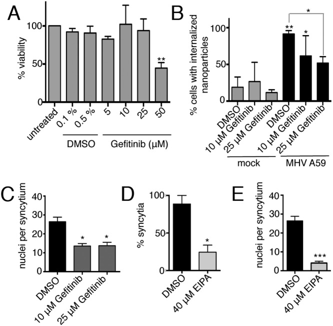 CoV-induced macropinocytosis is dependent on EGFR activation. (A) Gefitinib was added to cells for 12 h, and toxicity was assessed with CellTiter-Glo. (B, C) DBT cells were mock infected or infected with MHV A59 at an MOI of 1 PFU/cell in DMEM or in DMEM supplemented with DMSO or gefitinib at 1.5 hpi. Cells were fixed at 8 hpi. Nanoparticles were added 3 h prior to fixation, and cells were washed, fixed, stained, and imaged. The percentage of cells with internalized nanoparticles (B) and the number of nuclei per syncytium (C) were determined. (D, E) DBT cells were mock infected or infected with MHV A59 at an MOI of 1 PFU/cell in DMEM or in DMEM supplemented with DMSO or EIPA at 1.5 hpi. Cells were fixed at 8 hpi, stained, and imaged. The percentage of infected cells involved in syncytia (D) and the number of nuclei per syncytium (E) were determined. Data are means ± standard deviations of triplicates. n = ≥30 fields per replicate. Statistical significance was assessed by one-way ANOVA with Dunnett's post hoc test. ***, P