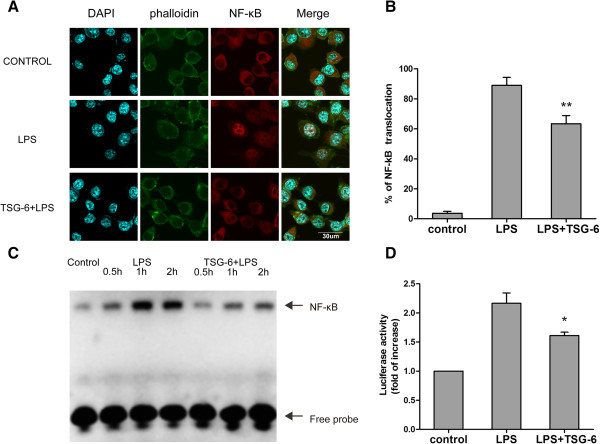 TSG-6 interferes with LPS-induced activation of NF-κB signaling. BV2 cells were stimulated with LPS in the presence and absence of TSG-6 (10 ng/ml). Cells were immunostained with a primary antibody against NF-κB p65, followed by an Alexa Fluor 594-conjugated secondary antibody. Actin filaments (green) and cell nuclei (blue) were visualized with FITC-labeled phalloidin and DAPI separately. Cell images were obtained using a confocal microscopy. (A) Typical micrographs of immunocytochemistry are shown for cytoplasmic and nuclear distribution on NF-κB p65. Scale bars, 30 μm. (B) The percentages of cells with NF-κB p65 localized to the nucleus were determined by analysis of at least 100 cells per slide. (C) Nuclear extracts were prepared and processed for chemiluminescence-based NF-κB EMSA experiments. Cells were stimulated with 100 ng/ml LPS with or without TSG-6(10 ng/ml) for the indicated periods. Nuclear extracts were incubated with a biotin-labeled NF-κB-specific oligonucleotide and further probed with streptavidin-HRP. The arrow indicates shifted DNA probe for NF-κB and free probe respectively. (D) BV2 cells were co-transfected with pNF-κB-luciferase reporter plasmid and pRL-TK control plasmid and then treated with or without LPS (100 ng/ml) in appearance or absence of rmTSG-6 (10 ng/ml) for 6 hours. NF-κB activities were measured by luciferase assay, normalized to luciferase activities of pRL-TK, and quantified as fold changes over the control (unstimulated BV2 cells). Values are mean ± SD. n = 3; ** P