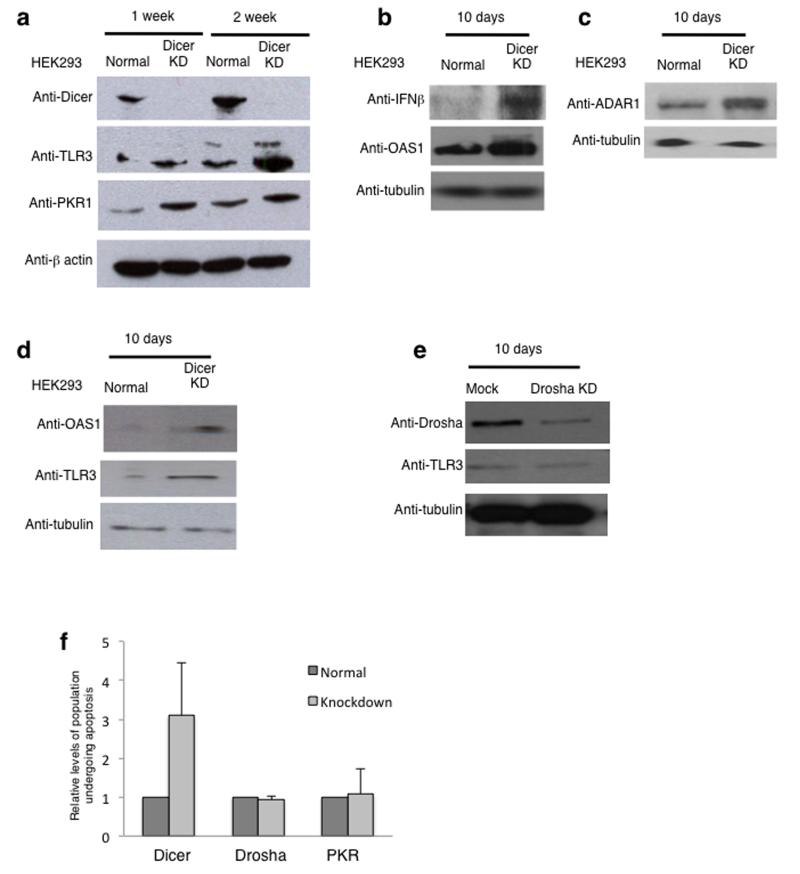 Loss of Dicer triggers the interferon response a) Western blot analysis of cell extracts isolated from normal and Dicer knockdown HEK293 cells, cultured for 1 or 2 weeks, using antibodies specific to Dicer, TLR3, PKR1 and β-actin. Anti-TLR3 antibody detects two bands and according to size markers, the upper band is likely to correspond to modified protein. Quantitation is shown in Supplementary Figure 7 . See Supplementary Fig. 9 for uncropped blot images. b) Western blot analysis of cell extracts isolated from normal and Dicer knockdown HEK293 cells, cultured for 10 days using antibodies specific to IFN-β, OAS1 and tubulin. See Supplementary Fig. 9 for uncropped blot images. c) Western blot analysis as in (b) using antibodies specific to ADAR1 and tubulin. See Supplementary Fig. 9 for uncropped blot images. d) Western blot analysis of cell extracts isolated from normal and siRNA-directed Dicer knockdown HEK293 cells using antibodies specific to OAS1, TLR3 and tubulin. See Supplementary Fig. 9 for uncropped blot images. e) Western blot analysis of cell extracts isolated from normal and Drosha knockdown HEK293 cells using antibodies specific to Drosha, TLR3 and tubulin. See Supplementary Fig. 9 for uncropped blot images. f) Flow cytometry based quantitation of the % of cell population undergoing apoptosis in normal and Dicer, Drosha or PKR knockdown cells. % of cell population values are based on average values ± s.e.m. from three independent biological experiments. All experiments in the figure were independently repeated 3 times.
