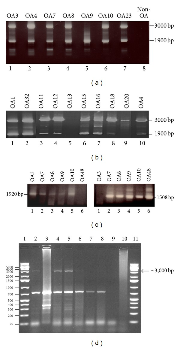 Expression of ERVWE1 and ERVW2 in chondrocytes from OA and non- or early OA patients. (a) PCR on cDNA prepared from cultured chondrocytes isolated from knees or hip from OA patients. Specific primers for the ERVWE1 and ERVWE2 env gene (encoding syncytin) were used. (b) RNA purified from nitrogen-crushed cartilage. (c) RNA was isolated from chondrocytes obtained from 6 OA patients, converted into cDNA, and amplified using specific primers complementary to the gag gene of HERVWE1 (left panel) and HERVWE2 (right panel) sequences. (d) Amplification of cDNA prepared from chondrocytes from non- and early OA patients. Lanes 1 and 11: 1 kb plus ladder; lanes 2–10: amplified cDNA. The arrow indicates the presence of the amplified 3,000 bp of the ERVWE1 env transcript.