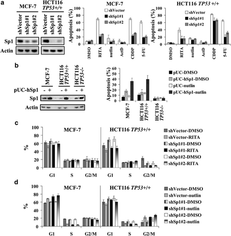 Sp1 is a key determinant of p53-mediated apoptosis, but not cell cycle arrest. ( a ) Left panel, the depletion of Sp1 in MCF-7 and HCT116 cells with two shRNAs targeting different sequences of Sp1 was assessed by immunoblotting. Actin was used as loading control. The depletion of Sp1 reduces apoptosis induced by p53-activating compounds after 48 h in MCF-7 (middle panel) and HCT116 (right panel) cells as assessed by FACS performed as in Figure 1a . ( b ) Right panel, ectopic expression of Sp1 promotes apoptosis induced by nutlin in MCF-7 and HCT116 cells but not in HCT116 TP53−/− cells as assessed by FACS performed as in Figure 1a . Left panel, the efficiency of ectopic expression of Sp1 was assessed by immunoblotting. ( c and d ) Cell cycle distribution was not affected by Sp1 depletion in MCF-7 and HCT116 cells exposed to RITA ( c ) or nutlin ( d ) as assessed by FACS performed as in Figure 1c . FACS data are presented as mean±S.D., n =3