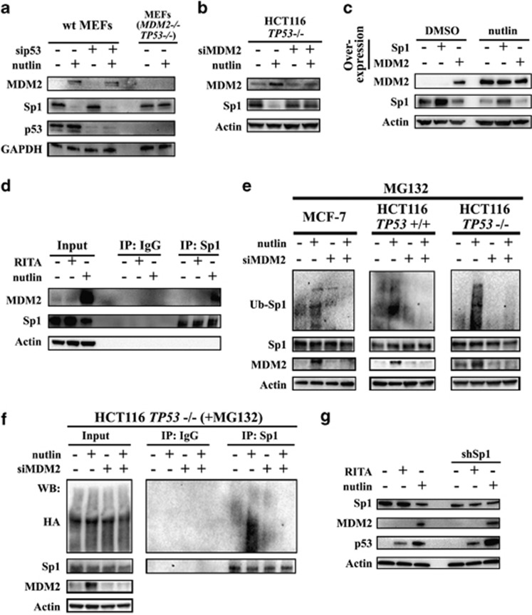 MDM2 is required for the repression of Sp1 by nutlin. ( a ) MEFs were treated with pooled siRNA targeting p53. Protein levels of MDM2, Sp1 and p53 in wild-type MEFs and MDM2−/−TP53−/− MEFs treated with nutlin were detected by immunoblotting. GAPDH was used as loading control. ( b ) HCT116 p53-null cells were treated with pooled siRNA targeting MDM2. Protein levels of MDM2 and Sp1 in cells treated with nutlin were detected by immunoblotting. ( c ) Levels of MDM2 and Sp1 in MCF-7 cells with overexpression of Sp1 or MDM2 were assessed by immunoblotting. ( d ) The amount of MDM2 bound to Sp1 was detected by co-immunoprecipitation followed by immunoblotting. Right panel: equal amount of immunoprecipitated Sp1 was loaded to assess bound MDM2. ( e ) MCF-7, HCT116 and HCT116 TP53−/− cells were pretreated with pooled siRNA targeting MDM2. The level of ubiquitinated Sp1, Sp1 and MDM2 proteins was assessed in cells treated with proteasome inhibitor MG132 and nutlin by immunoblotting with anti-Sp1 and anti-MDM2 antibodies. ( f ) HCT116 TP53−/− cells expressing ectopic HA-tagged ubiquitin were pretreated with pooled siRNA targeting MDM2. The amount of HA-tagged ubiquitin attached to Sp1 was detected by the immunoprecipitation of Sp1 followed by the immunoblotting with anti-HA antibody. Actin was used as loading control. ( g ) Levels of MDM2, Sp1 and p53 in MCF-7 cells and Sp1-depleted MCF-7 cells on RITA or nutlin treatment were assessed by immunoblotting