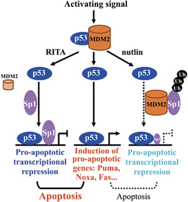 Model depicting the contribution of Sp1 to p53-mediated pro-apoptotic transcriptional repression and apoptosis. See Discussion for details