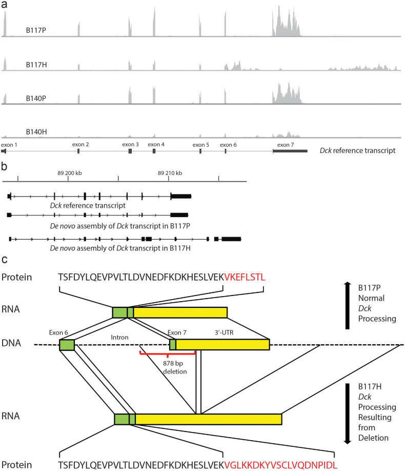 Sequence abnormalities in B117H Ara-C resistant cells verified by Sanger sequencing. (a) RNA-seq reads were mapped to the NCBI reference genome. Visualization of Dck expression using IGV. (b) Transcripts were assembled independently of a reference transcriptome using Cufflinks, then mapped to the mm9 mouse genome using Cuffcompare, and the resulting gtf file was visualized by IGV. (c) Sanger sequencing of DNA in B117H cells identified an 878 nt deletion spanning the splice acceptor of intron 6 and the translated portion of exon 7. Sanger sequencing of RNA verified a transcript matching the configuration identified by TopHat and IGV.