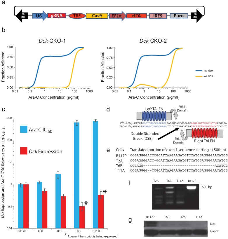 Reducing Dck expression in the B117P parental cell line results in increases of the IC 50 value for Ara-C. (a) Schematic of the CRISPR-Cas9 cloning vector. (b) MTS-tetrazolium assays confirmed a shift in response to Ara-C in cells transfected with 2 different gRNAs ( Dck CKO-1 and Dck CKO-2) using the CRISPR system. (c) Reduction of Dck expression in B117P cells was accomplished marginally by RNA interference (KD1 and KD2) or completely using TALENs (KO). Error bars depict range. (d) Structure of the TALENs used to knockout Dck in the B117P cell line. (e) DNA modifications to Dck in the TALEN based KO cell lines confirmed a 1 nt deletion in the T2A cells, a 32 nt deletion in the T6B cells, and a 2 nt deletion in the T11A cells, and in each case the deletion occurred just a little over 50 nt from the translation start site. (f) RT-PCR of cDNA copy of RNA of a 595 base sequence straddling the translational start site. Primers are described in Supplementary Table S11 . (g) Western blot verifying the absence of Dck proteins in the Dck KO clones. Cropped images presented in figure. Full-length blots can be found in Supplementary Figure S6b .
