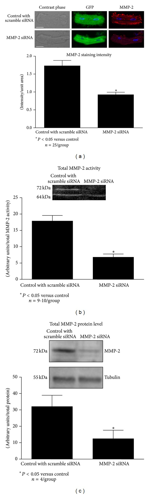 Effect of MMP-2 siRNA transfection on MMP-2 expression in isolated cardiomyocytes. (a) Efficiency of siRNA transfection and MMP-2 protein levels measured by immunocytochemistry. Scale bar, 50 μ m. (b) Measurement of MMP-2 gelatinolytic activity by zymography. (c) MMP-2 protein level. (a) n = 25 cells from 3 different hearts per group; n = 9-10 heart isolates per group for MMP-2 activity (b), in (c) n = 4 heart isolates per group, * P