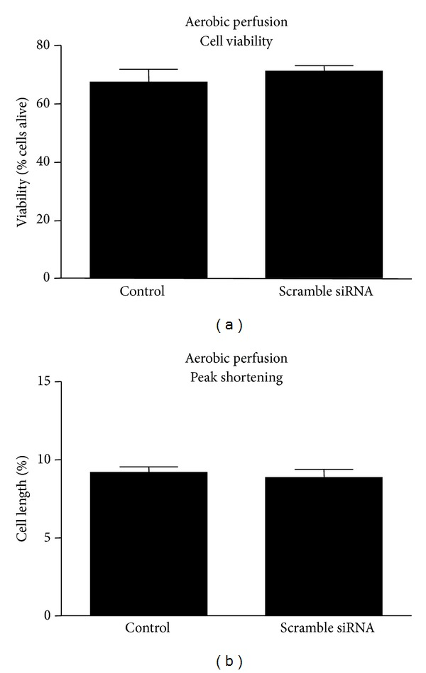 Effect of scrambled <t>siRNA</t> <t>transfection</t> on cardiomyocyte viability (a) and contractility (b). Control cells were transfected with scrambled siRNA. n = 4 heart isolations per group.