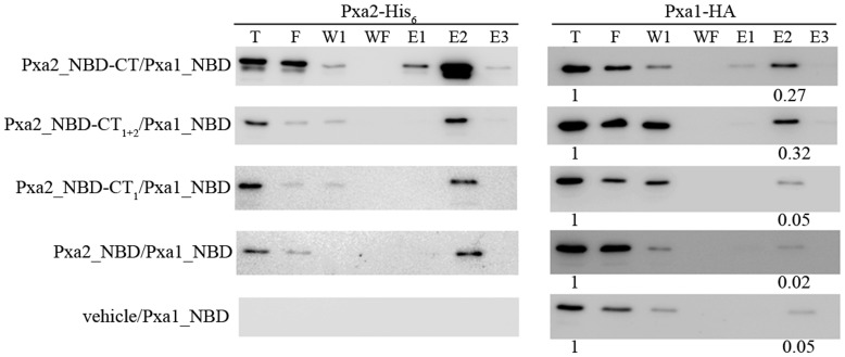 Analysis of co-purification of the CT-deleted mutant proteins of Pxa2_NBD-CT with Pxa1_NBD. The various CT-deleted proteins of Pxa2_NBD-CT-His 6 were co-expressed with Pxa1_NBD-HA in yeast strain BJ2168, and yeast cells were disrupted by sonication. The total yeast extracts were subjected to a pull-down assay using Ni 2+ -NTA chromatography. The presence of Pxa2-His 6 or Pxa1-HA in the total extract (T), flow-through (F), wash-one (W1), wash-final (WF), elute-one (E1), elute-two (E2), and elute-three (E3) fractions was revealed by Western blot probed with anti-HA antibody for Pxa1-HA (right panel) and anti-His antibody for Pxa2-His6 (left panel). Protein intensity was analyzed by using GeneTools software (Syngene). Protein intensity of the E2 fraction was normalized to that of the T fraction for each experiment.
