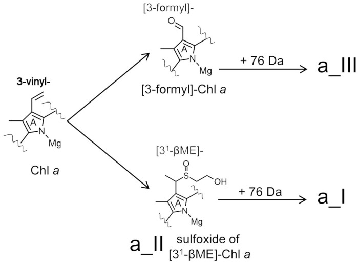 Substitutions at the C3 position of ring A of Chl a mediated by β-mercaptoethanol. The C3 vinyl position of Chl a is targeted by the thiol group of β-mercaptoethanol yielding a sulfoxide derivative of [3 1 -β-mercaptoethanol] Chl a (product a_II), which can react further with β-mercaptoethanol to yield an unkown product (a_I) with a mass of a_II plus 76 Da. An alternate, competing reaction also targets the C3 vinyl group of Chl a , oxidatively cleaving it to yield [3-formyl]-Chl a (Chl d ). As is the case for product a_II, [3-formyl]-Chl a also reacts further with β-mercaptoethanol to yield an unknown product (a_III) with a mass of [3-formyl]-Chl a plus 76 Da. Structure of product a_II and synthesized Chl d is confirmed by NMR anaylsis (details see supplementary information ).