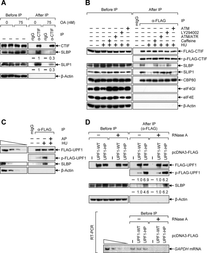 ATR and DNA-PK activated upon the inhibition of DNA replication triggers UPF1 phosphorylation and promotes UPF1–SLBP interaction. ( A ) IP of endogenous CTIF in the presence of OA. HeLa cells were treated with either ethanol (0 nM) or OA (75 nM) for 5 h before IP. Total-cell extracts were analyzed either before or after IP using α-CTIF antibody or rIgG. The levels of co-immunopurified SLBP and SLIP1 were normalized to the levels of immunopurified CTIF. The normalized levels obtained in the IP of CTIF with the treatment of ethanol were arbitrarily set to 1. ( B ) IP of FLAG-CTIF in the presence of PIKK inhibitors. HeLa cells transiently expressing FLAG-CTIF were pre-treated with 15 mM caffeine, 20 μM ATM/ATR inhibitor, 140 μM LY294002 or 1.3 μM ATM inhibitor for 2 h before cell harvest. Cells were either untreated or treated with 5 mM HU for 1 h before cell harvest. IPs were performed using α-FLAG antibody. The level of phosphorylated FLAG-CTIF (p-FLAG-CTIF) was determined by western blotting using α-phospho-S/TQ antibody. The results in panels A and B are representative of at least three independently performed transfections and IPs. ( C ) IP of FLAG-UPF1 using extracts of cells treated with either 5 mM HU or HU/alkaline phosphatase (AP). HeLa cells were transiently transfected with plasmid expressing FLAG-UPF1. Cells were either untreated or treated with 5 mM HU for 1 h before cell harvest. IPs were performed using α-FLAG-conjugated agarose beads. The immunopurified complex was or was not treated with AP. The level of phosphorylated FLAG-UPF1 (p-FLAG-UPF1) was determined by western blotting using α-phospho-S/TQ antibody. To show that western blotting used in this study was sufficiently semi-quantitative, 3-fold serial dilutions of total-cell extracts are represented in the four left-most lanes. ( D ) IP of FLAG-UPF1-WT and FLAG-UPF1-HP. HeLa cells were transiently transfected with plasmid expressing either FLAG, FLAG-UPF1-WT or -HP. Total-cell extracts were either 