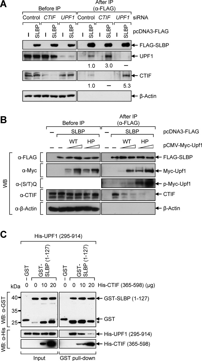 UPF1 competes with CTIF for binding to SLBP. ( A ) HeLa cells were depleted of either CTIF or UPF1 using specific siRNA and then re-transfected with plasmid expressing FLAG-SLBP. Total-cell extracts were analyzed either before or after IP using α-FLAG-conjugated agarose beads. The levels of co-immunopurified cellular UPF1 and CTIF were normalized to the levels of immunopurified FLAG-SLBP. The normalized levels obtained from the IP of FLAG-SLBP in the presence of Control siRNA were set to 1. ( B ) HeLa cells were transiently transfected with the equivalent amount of plasmid expressing FLAG-SLBP and gradually increasing amounts of plasmid expressing either Myc-UPF1-WT or -HP. Total-cell extracts were subjected to IP using α-FLAG-conjugated agarose beads. ( C ) In vitro competition assay results. E. coli lysates that express GST or GST-SLBP (1–127) were mixed with His-UPF1(295–914) in the presence of gradually increasing amounts of purified His-CTIF (365–598). Purified recombinant bRIP1 (ribosome-inactivating protein 1 from barley seeds), which served as a negative control, was added to the reactions to ensure addition of equal amounts of total protein. After GST pull-down, the purified proteins were analyzed by western blotting (WB) using α-GST antibody (upper) or α-6xHis antibody (lower). The locations of molecular weight (MW) markers are indicated on the left. Asterisk indicates nonspecific bands or degradation products of GST-SLBP (1–127). Each panel of results is representative of at least two independently performed experiments.