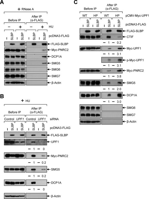 PNRC2 and SMG5 associate with SLBP in a way that depends on UPF1 phosphorylation. ( A ) HEK293T cells were transiently transfected with plasmids expressing FLAG-SLBP and Myc-PNRC2. Cells were either treated or not treated with 5 mM HU for 20 min before cell harvest. Total-cell extracts were treated with RNase A and subjected to IP using α-FLAG-conjugated agarose beads. ( B ) HEK293T cells were transiently transfected with either UPF1 siRNA or nonspecific control siRNA. Two days later, cells were retransfected with plasmids expressing FLAG-SLBP and Myc-PNRC2. Cells were treated with HU for 20 min before cell harvest. Total-cell extracts were treated with RNase A and subjected to IP using α-FLAG-conjugated agarose beads. The levels of co-immunopurified proteins were normalized to the levels of immunopurified FLAG-SLBP. The normalized levels obtained in the IP of FLAG-SLBP in the presence of control siRNA were arbitrarily set to 1. Each panel of results is representative of at least two independently performed transfections and IPs. ( C ) As performed in Figure 5B , except that HEK293T cells were transfected with plasmids expressing FLAG-SLBP and either Myc-UPF1-WT or Myc-UPF1-HP. Each panel of results is representative of at least two independently performed transfections and IPs.