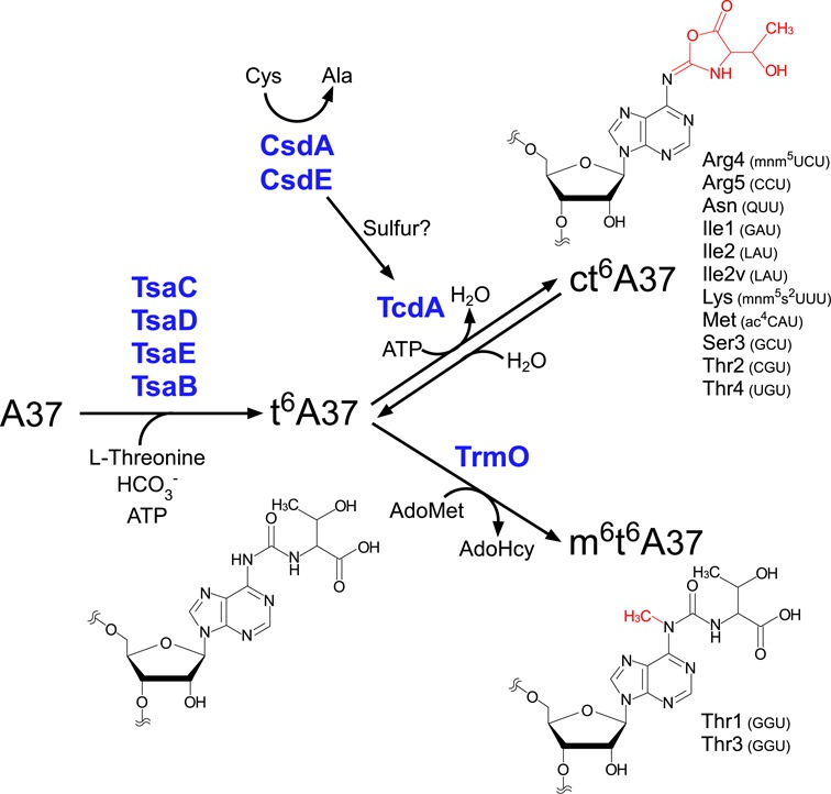 Biosynthesis of t 6 A derivatives. In E. coli , A37 of all 13 tRNAs responsible for ANN codons is modified to t 6 A by four enzymes (YgjD, YjeE, YeaZ and YrdC), which use L -threonine, bicarbonate, and ATP as substrates. For 11 tRNAs (i.e., excluding tRNA Thr1,3 ), t 6 A37 is further dehydrated to ct 6 A by TcdA in the presence of ATP. This cyclization reaction is activated by cysteine desulfurase CsdA and sulfur acceptor protein CsdE. For tRNA Thr1,3 , t 6 A37 is methylated to form m 6 t 6 A37; this reaction is catalyzed by TrmO using AdoMet as a methyl donor.