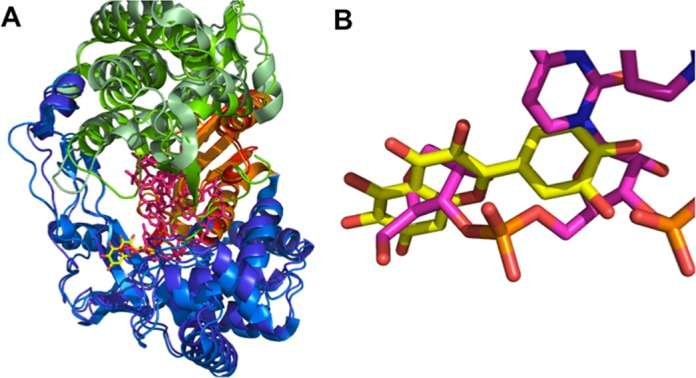 Superimposition of the HCV-NS5BΔ21-quercetagetin complex with the HCV-NS5BΔ21-RNA complex (PDB code 4E7A) in ribbon representation (palm in red and orange, thumb in green and pale green, fingers in blue and marine). Quercetagetin and RNA are in stick representation (yellow and pink, respectively). (A) Superimposition of the global structures. (B) Zoom on the quercetagetin binding domain.