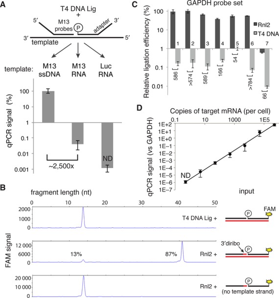 Measurement of T4 DNA Ligase and Rnl2 probe joining activity on DNA and RNA templates. ( A ) 500 nM of each adapter-M13 probe was annealed on the indicated 100 nM template (60°C for 10 min, 45°C for 30 min) in 1× T4 DNA ligase buffer. Complexes were then diluted 1000-fold into a 20 μl ligation reaction containing 5 U of T4 DNA ligase and incubated at 37°C for 30 min. Ligation products were then diluted 1000-fold into SYBR green master mix before undergoing PCR. qPCR signals are expressed as percent of the ssDNA template condition. ( B ) Capillary electrophoresis of ligation products. A FAM-labeled donor probe at 1 μM and the indicated hybrid diribo- or deoxyribo-acceptor oligo (10 μM) were annealed on a synthetic GAPDH RNA template (10 μM) or no template and then diluted 10-fold into the indicated ligation reaction and incubated for 30 min at 37°C. The product of this ligation was then diluted 10-fold in stopping buffer and measured by capillary electrophoresis. ( C ) Seven GAPDH probe sets were tested with the indicated ligase in the RASL assay, using 50 ng of prostate RNA as template in a 20 μl reaction. After 10 cycles of pre-amplification, the product of each probe set was separately analyzed by qPCR using probe set-specific nested detection primers. ( D ) Sensitivity of an Rnl2-based RASL assay, determined by serial dilution of a synthetic M13 RNA template into a background of 50 ng prostate RNA (the equivalent of ∼2000 cells). Data reported are the mean of at least three independent replicates; error bars are S.E.M. ND, not detected.