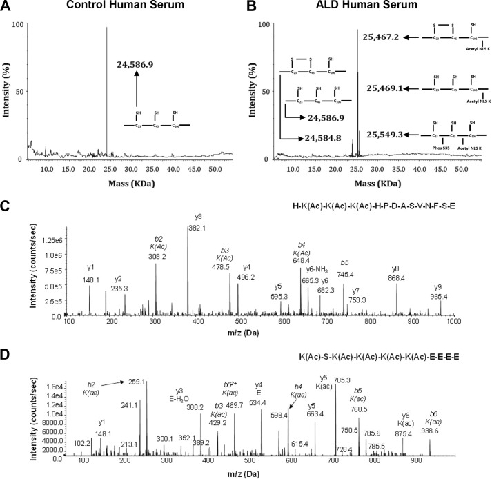 """Whole protein <t>ESI-MS</t> and LC-MS/MS characterization of <t>HMGB1</t> isoforms in healthy volunteers and in patients with ALD. Representative spectra of whole protein ESI-MS of HMGB1 isoforms isolated from serum of healthy volunteers ( A ) or patients with ALD ( B ) are shown. Molecular weights and a schematic representation of each isoform are indicated on each spectra where required. Representative spectra of the tandem MS characterization of a peptide containing lysine residues (Lys-28, -29, and -30) within NLS1 ( C ) and lysine residues (Lys-180, -182, -183, -184, and -185) within NLS2 ( D ) after Glu-C digestion of the 25,467- and 25,549-Da human HMGB1 isoforms following extraction from the serum of ALD patients are shown. HMGB1 was enzymatically cleaved with endopeptidase Glu-C to confirm the presence or absence of acetyl modifications on specific lysine residues (shown as K(Ac) ) as described under """"Experimental Procedures."""" The one-letter amino acid code is given for each peptide sequence, and b and y ions are labeled with molecular weights and amino acid code where appropriate. Data are representative of either 10 healthy volunteers or 10 ALD patients."""