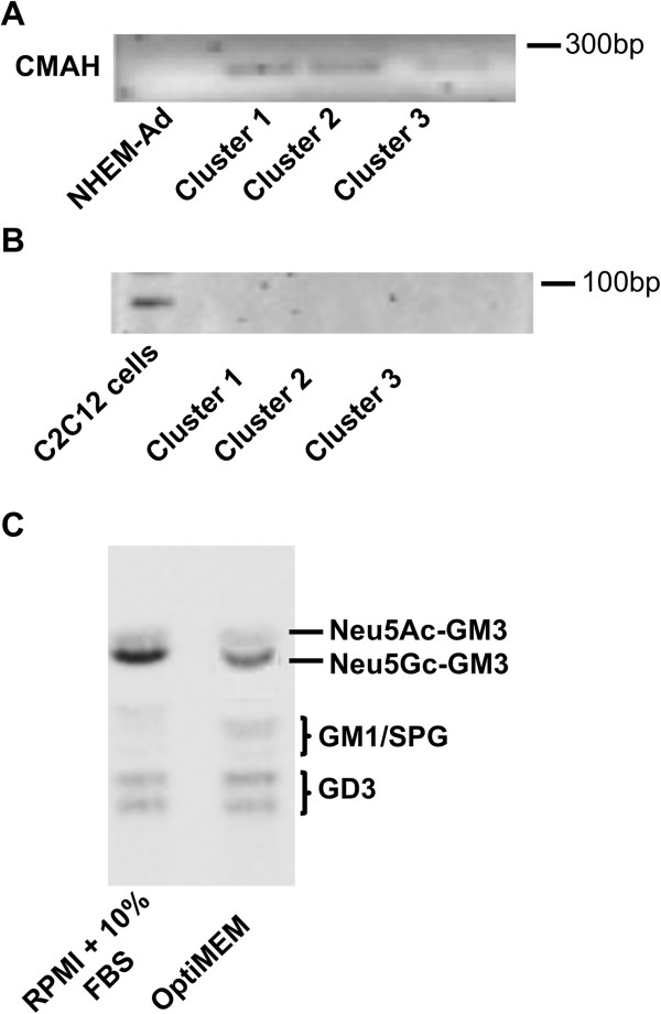 CMAH in melanoma cells. (A) RT-PCR analysis of CMAH expression in L6 (cluster 1), L34 (cluster 2), L4 (cluster 3). (B) RT-PCR analysis of deletion at 5′ of CMAH gene in L6 (cluster 1), L34 (cluster 2), L4 (cluster 3). Similar results were obtained for other melanoma cell lines according to the clustering. (C) HPTLC separation of gangliosides of L6 cells after pre-incubation in medium containing 10% FBS or in serum-reduced medium OptiMEM. Three replicate experiments were performed.