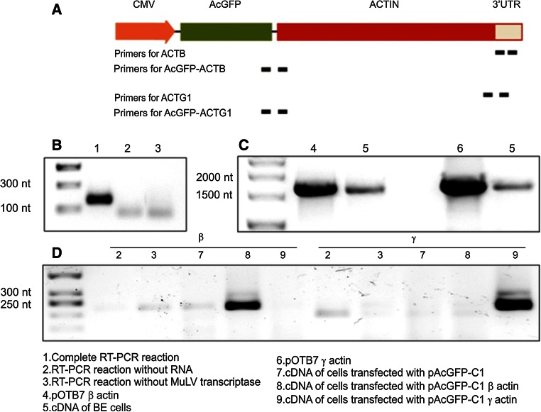 Molecular biological strategy for qRT-PCR analysis. a A schematic map of a part of pAcGFP-C1-actin vector, CMV—cytomegalovirus promoter. Sites to which specific primers anneal are shown as bold bars . b Control PCR reactions after RT-PCR on mRNA isolated from BE cells proving there were no contaminations while performing qRT-PCR analysis. Primers recognizing cDNA of β-actin were used, expected band size: 174 nt. c Control PCR reactions where pOTB7 plasmids with clones of β- and γ-actin and cDNA of BE cells served as templates; for this reaction, primers for subcloning of isoactins into pAcGFP-C1 were used. Expected band size 1,724 nt. d Control PCR reactions, where cDNAs of control and transfected cells served as templates and those recognizing cDNA of AcGFP-actins were taken as primers (β for AcGFP-β-actin, γ for AcGFP-γ-actin). Expected band sizes: 222 nt