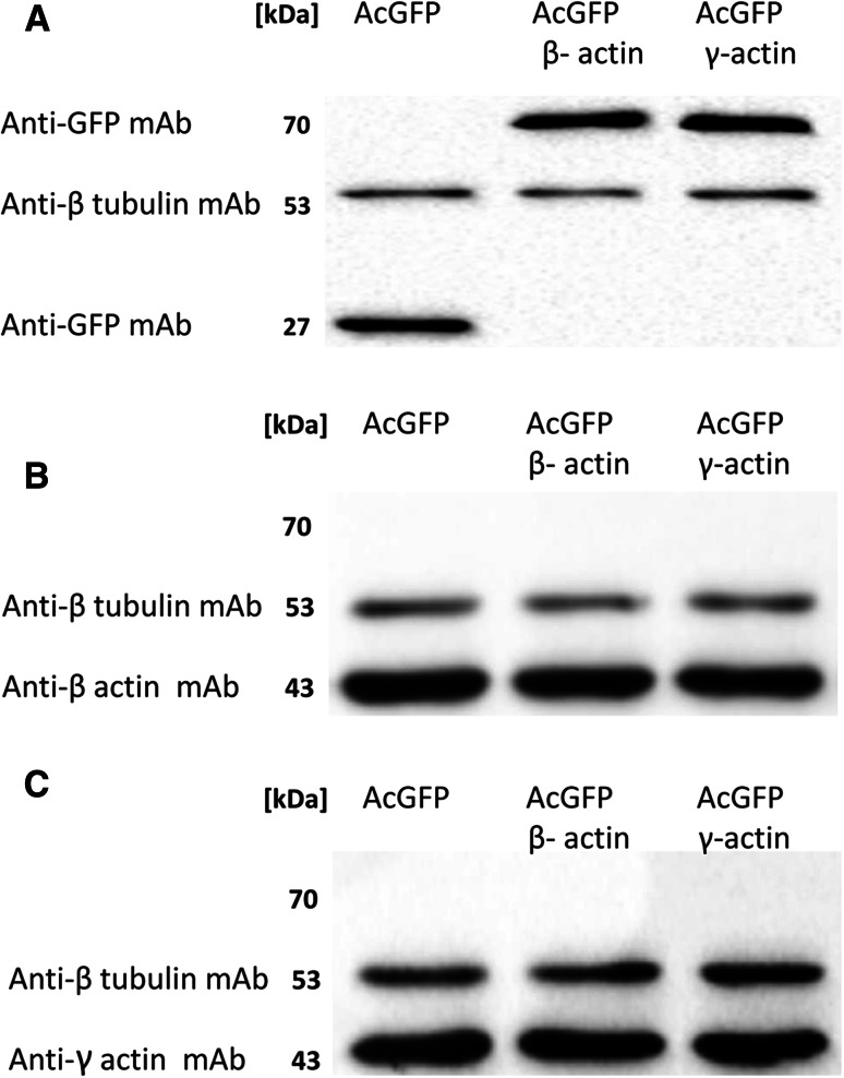 Western blot analysis of AcGFP, β-actin and γ-actin. A representative immunoblots identificating AcGFP and fusion proteins ( a ) as well as β-actin ( b ) and γ-actin ( c ) in cellular extracts of control cells (transfected with pAcGFP-C1) and cells overexpressing AcGFP tagged β- or γ-actin. Used antibodies: mouse monoclonal antibodies directed against β tubulin, mouse monoclonal antibodies directed against GFP, mouse monoclonal anti-β-actin antibodies and mouse monoclonal anti-γ-actin antibodies