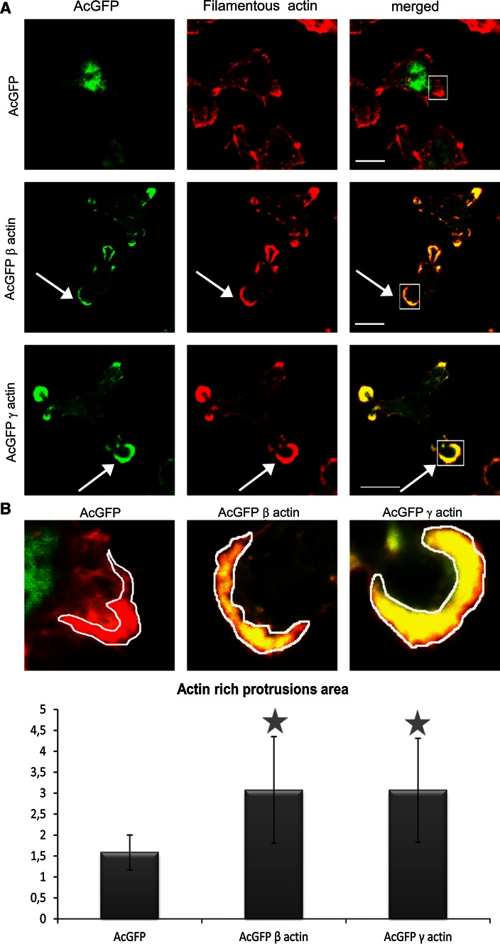 Filamentous actin organization in BE colon cancer cells overexpressing β- and γ-actin isoforms. a Confocal images showing cells expressing actin isoform β or γ encoded by pAcGFP-C1 expression vector were compared to cells transfected with an empty vector pAcGFP-C1. Left panel AcGFP fluorescence ( green ). Middle panel filamentous actin visualized by staining with AlexaFluor ® 568-conjugated phalloidin ( red ). Merged images are shown in the right panel. Scale bar 10 μm. Arrows indicate the areas of colocalization of presumed overexpressed β- or γ-actin with F actin. b Upper row— confocal images showing area of lamellipodial protrusions in all transfected cells (enlarged fragments from merged images from Fig. 5 a, rectangles squares ). Lower row —actin-rich protrusions areas. The data were counted for 20 cells in each case. Asterisks indicate values statistically different from those obtained for the control cells. The significance level was set at P ≤ 0.05 in Student's t test