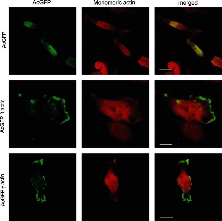 Subcellular localization of monomeric actin in cells overexpressing β- or γ-actin. β- or γ-actin was encoded by pAcGFP-C1 expression vector. Left panel AcGFP ( green ). Middle panel monomeric actin visualized by staining with DNase I conjugated with Alexa Fluor ® 594 ( red ). Merged images are shown in the right panel . Scale bar 10 μm
