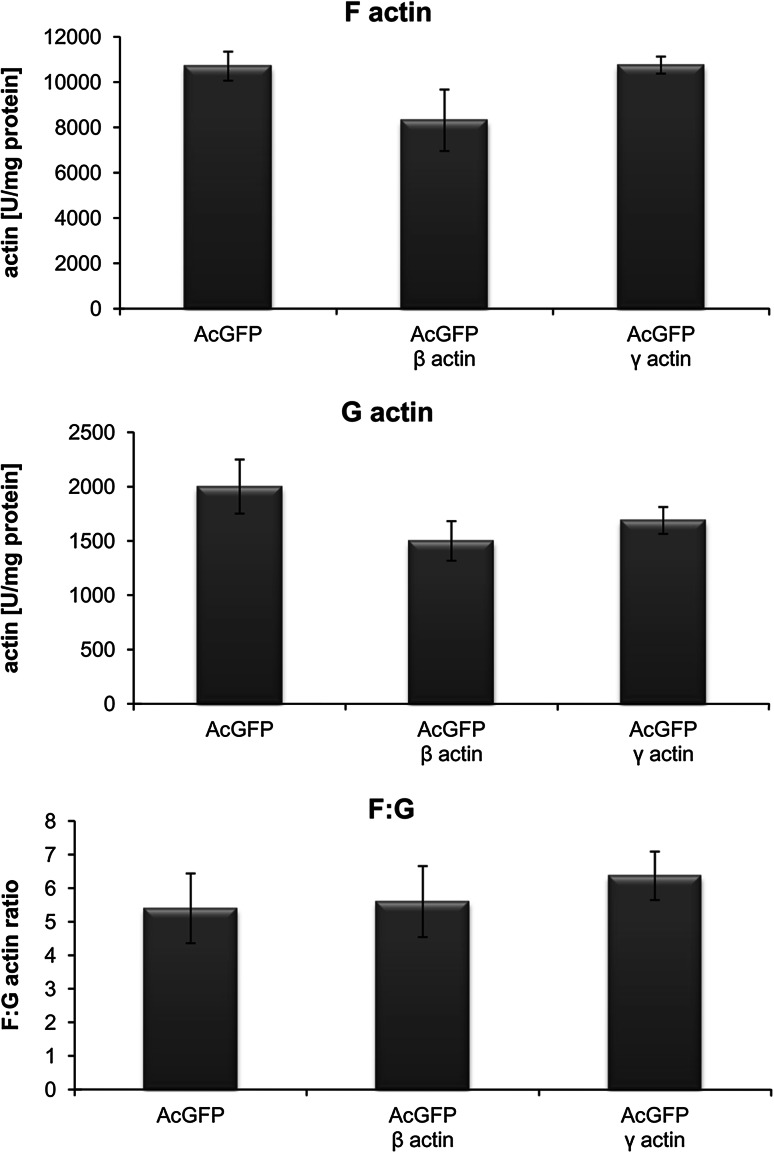 Changes in actin polymerization state in the BE cells overexpressing β- or γ-actin. Results were compared to cells transfected with an empty vector pAcGFP-C1. The data were obtained from three independent experiments