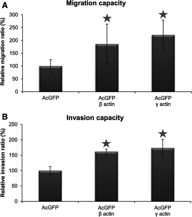 Migration ( a ) and invasion ( b ) capacities of BE cells overexpressing β- or γ-actin isoform. Results expressed as the mean ± SD are representative for at least three independent experiments. Migration and invasion in control cells are presented as 100 %. Asterisks indicate values statistically different from those obtained for the control, transfected with pAcGFP-C1 plasmid cells. The significance level was set at P ≤ 0.05 in Student's t test
