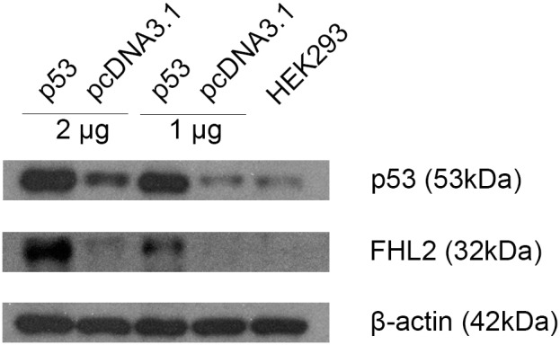 Protein expression of TP53 and FHL2 were detected by western blotting after transfection of 1 or 2 µg TP53 expression plasmid in HEK 293 cells for 48 h. pcDNA3.1 served as empty vector control of TP53 and the untreated HEK 293 cells lysate showed the endogenous levels of p53 and FHL2. β-actin was used as internal control.