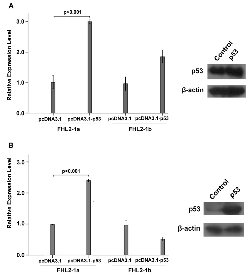 Relative expression levels of FHL2-1a and FHL2-1b upon over-expression of TP53 in HEK293 and Hep3B cell lines. TP53 expression plasmid was transiently transfected in HEK293 and Hep3B cells using empty pcDNA3.1 vector as control. Western blotting analysis indicated the successful over-expression of TP53 in both HEK293 and Hep3B cells. The mRNA levels of FHL2-1a and FHL2-1b were determined by real-time PCR. (A) The mRNA levels of FHL2-1a and FHL2-1b in HEK293 cells transfected with pcDNA3.1-TP53 and empty pcDNA3.1 vector. (B) The mRNA levels of FHL2-1a and FHL2-1b in Hep3B cells transfected with pcDNA3.1-TP53 and empty pcDNA3.1 vector.